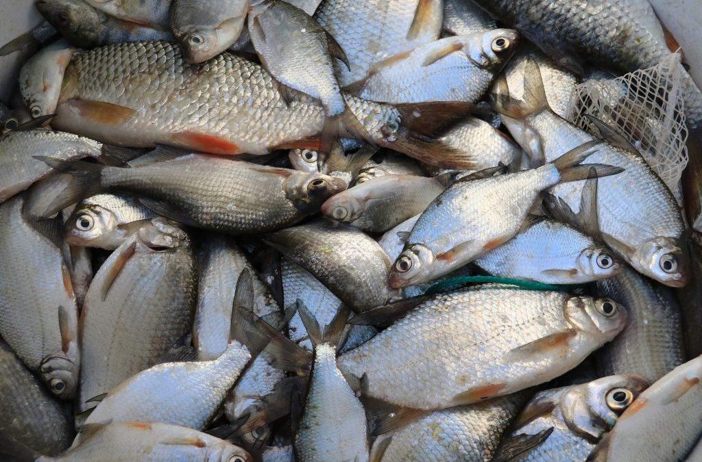 Vårdfiske i Enäjärvi sjö i Vichtis