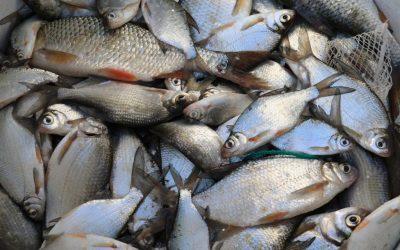 Hoitokalastus Vihdin Enäjärvellä